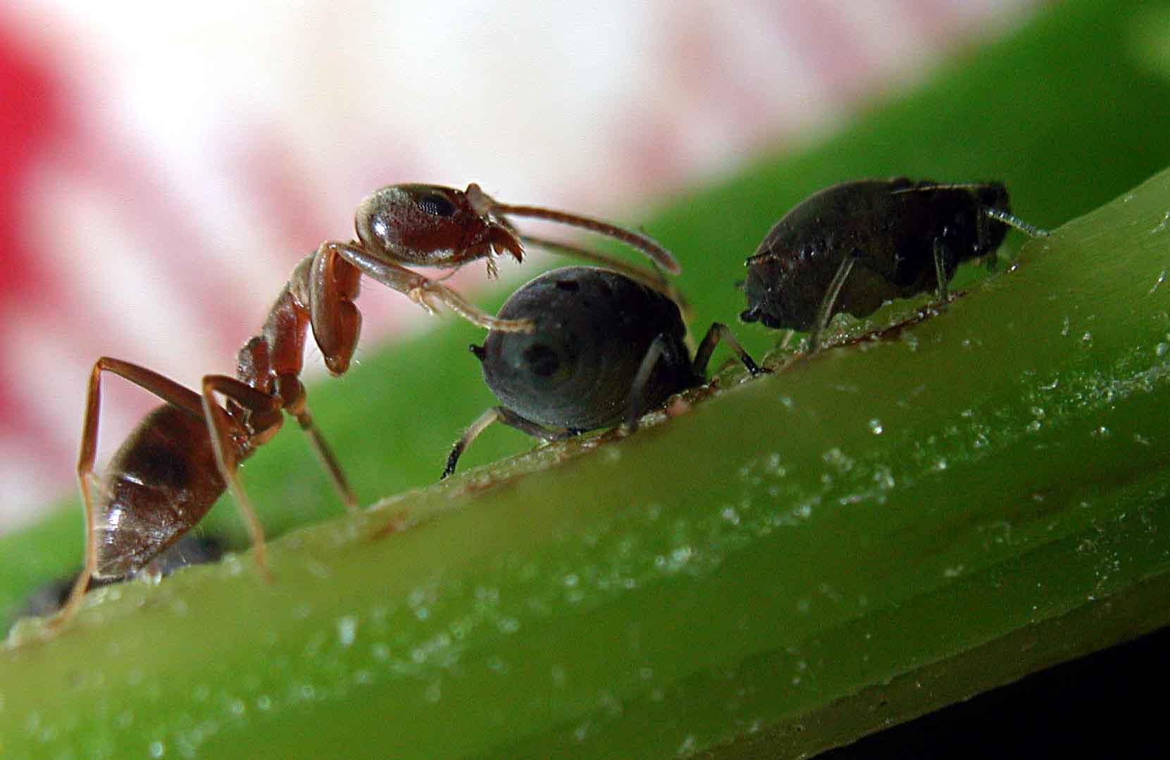 Ese peque o insecto llamado pulg n asilvestrados - Pulgon en plantas ...